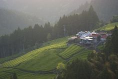 Green tea fields on a mountainside, Shizuoka, Japan.