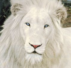 White Lion   Thor (above) is the father of Nyanga, a white lion who killed a ...