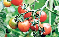 Pick a tastier tomato in 2012