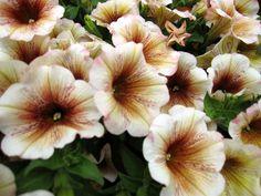 Cappuchino Petunias