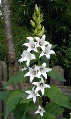 Campanual latifolia var. macrantha 'Alba' Shade Tolerant Plants, Achillea, Astrantia, Astilbe, Dry Clay, Garden Tips, Perennials, Frost, Outdoors