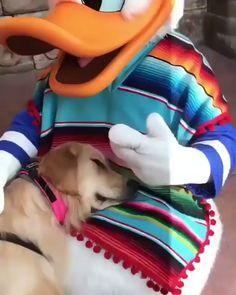 Quand un chien d'assistance rencontre Donald, ça donne ça !  Trop mignon n'est-ce pas ?  Crédit 📹: reddit/Raging_Homo_Sapiens