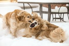 Snow fight (Goldens bringing out their inner wolves) by J. Matthew Buchanan