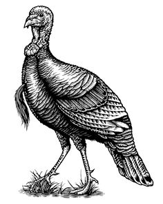 Wild Turkey Bourbon Illustrated by Steven Noble on Behance Pictures Of Turkeys, Deer Pictures, Pictures To Draw, Wild Turkey Bourbon, We Draw Animals, Turkey Tattoos, Turkey Drawing, Turkey Painting, Turkey Coloring Pages