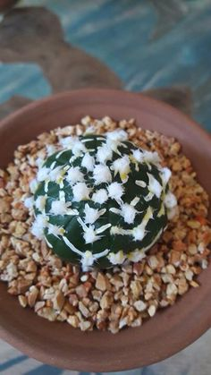 Astrophitum Growing Succulents, Succulents In Containers, Cacti And Succulents, Planting Succulents, Cactus Plants, Planting Flowers, Ghost Plant, Mini Plants, Hardy Plants
