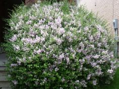 Organic Gardening: The Irony of My Dwarf Lilac  http://planetforward.ca/blog/organic-gardening-irony-of-my-dwarf-lilac/#  #green #sustainable