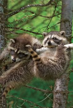 Raccoons are such clowns. As a child, I had 3 as pets (not a good idea today)