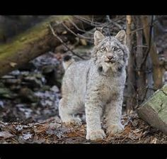 Baby Lynx - Bing Images