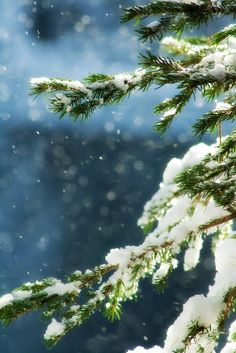 Pine and snow