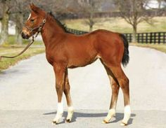 A recent picture of Untouched Talent's American Pharoah filly.  Photo from: thoroughbreddailynews.com