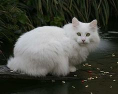 White with green eyes Norwegian Forest Cat