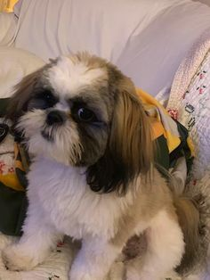 Quality ShihTzu for quality homes for Pets and Therapy dogs. We offer LIFETIME advice for your Glory Ridge ShihTzu. Imperial shihtzu to standard size shihtzu in every color. Shitzu Puppies, Therapy Dogs, Puppies For Sale, Shih Tzu, Missouri, Casseroles, Pets, Animals, Dog Baby