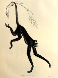 Original beautiful antique Spider monkey by LyraNebulaPrints