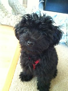Our schnoodle Cooper! Love him to pieces! Miniature Schnoodle, Cute Puppies, Dogs And Puppies, Schnauzer Mix, Cockapoo Dog, Cutest Thing Ever, Family Dogs, Poodles, Doggies