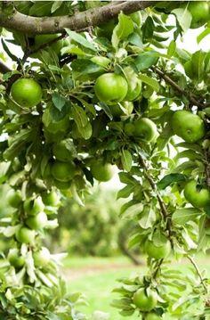 New fruit apple green granny smith 40 ideas Apple Farm, Apple Orchard, Go Green, Green Colors, Granny Smith, World Of Color, Apple Tree, Fruit Trees, Farm Life