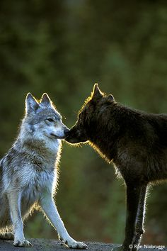 """Black-Phased and Gray """"Timber"""" Wolves greet in the first light of morning."""