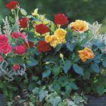 Как вырастить здоровую розу
