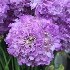 """Scabiosa  #flowerporn #flowerlove #flowers #gpageflowers"" Instagram Posts, Flowers, Plants, Plant, Royal Icing Flowers, Flower, Florals, Floral, Planets"