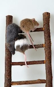 Natural Mouse Repellents to Get Rid of Mice