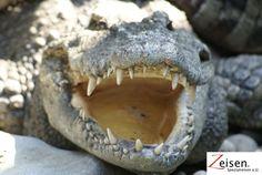 Krokodil im Zoo von Bangkok Bangkok, Thailand, Tour Operator, Animals