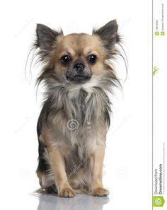 long hair chihuahua - Google Search