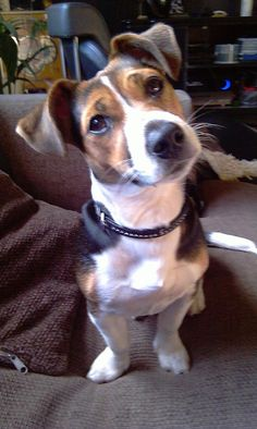 Furby, Jack Russel Terrier #Hund #dog