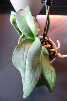 care for orchids how to ~ care for orchids ; care for orchids how to ; care for orchids tips Horticulture, Plants, Plant Leaves, Organic Insecticide, Outdoor Gardens Design, Plant Care, Creative Gardening, Orchid Care, Dendrobium Nobile