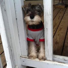 "Schnauzer! Love them! Best dogs ever. Wonder if this baby's sweatshirt reads ""Looking Good"" like my girls' do. = ) ~lg"
