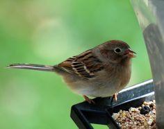 Birding from the Backyard! • Lots of Tips, Ideas & Tutorials on birding. • Learn how to make bird feeders & bird houses & learn all about birding!