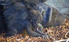 Le bébé gorila VIRUNGA junto a su padre MAMBIE en BIOPARC Valencia - noviembre 2016