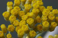 Helichrysum species - Discover the therapeutic benefits of different Helichrysum species.