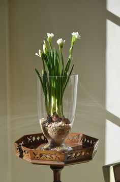 In the Studio: Paperwhites  i love to have them blooming between christmas and new years.