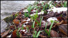 kwiaty - wczesna wiosna - śnieżyczki #kwiaty #flowers #polish flowers #polskie kwiaty #kwiatki #kwiaty ogrodowe #kwiaty polne #kwiaty leśne #przebiśniegi #śnieżyczki #pierwiosnki #kwiaty wiosenne #wiosna #spring #krokusy #przebiśniegi #hiacynty #przyroda #natura #kwiaty wiosenne #spring flowers #polish flowers #Polskie kwiaty #ogród #garden #ogrodnictwo #ogrodnik #garden-flower