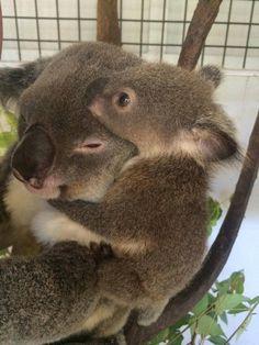 Koala bear and her cub