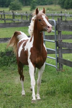Arabian horses, Pinto Arabian, Pintabian horses.