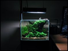 5.5G ADA Mini M low-tech tank with anubias nana, anubias nana petite, java fern trident, pennywort, marsilea minuta, fissidens fontanus, weeping moss,  CRS, yellow shrimp and corydoras habrosus: