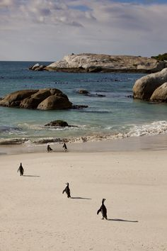 Penguins waddle into the water at Boulders Beach in the Table Mountain National Park – Cape Town, South Africa.
