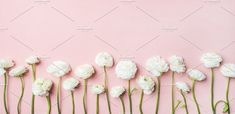 #White ranunculus flowers  Saint Valentines Day background. Flat-lay of white ranunculus flowers over light pink pastel background top view copy space. Greeting card or wedding invitation #whiteranunculus