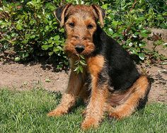 Welsh Terrier Asta