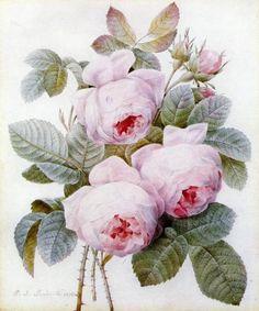 Botanical Print by Pierre-Joseph Redouté (1759-1840)
