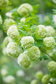 Snowball Bush-VIBURNUM OPULUS 'ROSEUM'