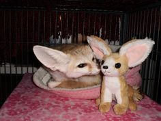 Zoey is another one of the 4 fennec foxes here at Critter Camp   She loves her plush fennec foxie too!  Follow us on facebook!   visit our site www.crittercamp.org