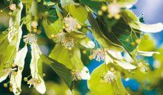 lipa Healing Herbs, Korn, Fruit, Health, Nature, Plants, Syrup, Naturaleza, Health Care