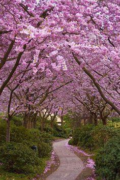 Cherry blossom ~ Hamburg Germany
