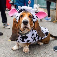 George, Basset Hound y/o), East River Park - Tompkins Square Halloween Dog Parade, New York, NY Basset Puppies, Hound Puppies, Basset Hound Puppy, Beagle Puppy, Dogs And Puppies, Brown Puppies, Cool Pet Names, Dog Names, Bassett Hound