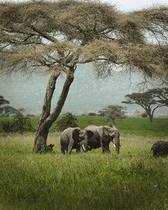 Auch im Norden Tansanias befindet sich der Serengeti National Park, der zweitgrösste Nationalpark des Landes. Er gilt als eines der grossen Naturwunder der Welt mit seinen ausgedehnten Herden von Gnus und Zebras. Wenn man Glück hat, trifft man auch auf eine Elefantenfamilie - einfach zauberhafte Momente, die man gerne teilt. Zebras, Elephant, Animals, Instagram, Tanzania, Natural Wonders, National Forest, World, Simple