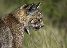 Bobcat : Discovery Channel
