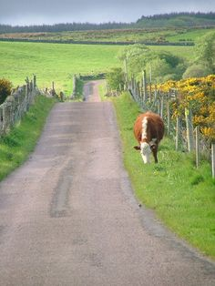 berengia:  Road to Corran Farm, Argyll and Bute, Scotland. Around here there was always one cow or another looking for a way out. Drop everything, go get the cow!