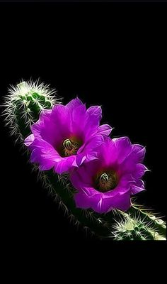 Cactus bloom , from Iryna