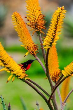 These striking plants bring a welcome splash of colour to the garden. Here are some of the hybrids we love and tips on landscaping with aloes. Flower Art, Art Flowers, Plant Images, Bird Art, Color Splash, Dandelion, Wildlife, Landscape, Scarlet